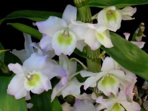 Dendrobium_plantemania