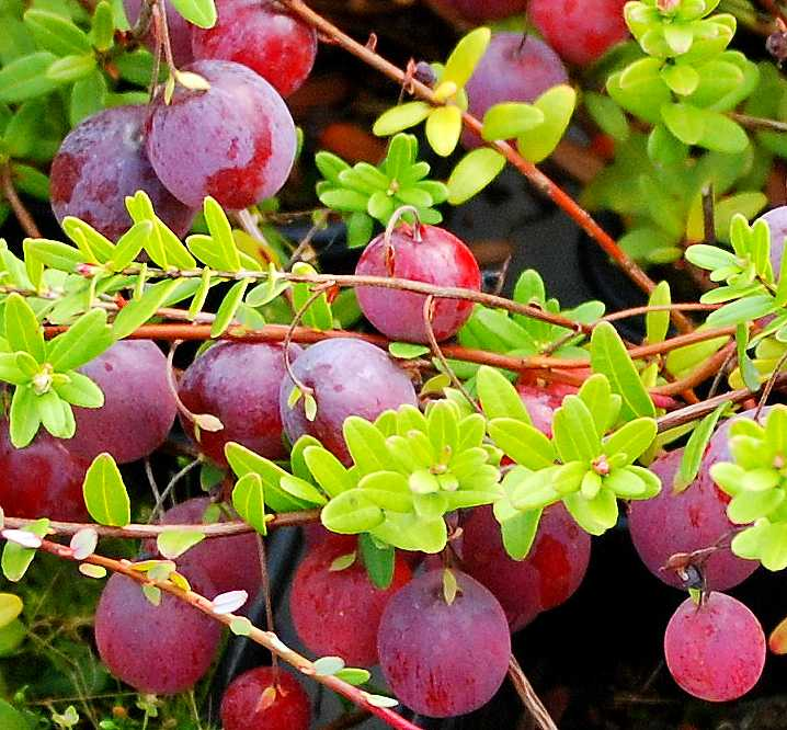Cranberry big pearl 34 lei plantemania ro for Vaccinium macrocarpon